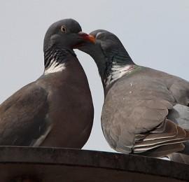 pigeons-413073_640