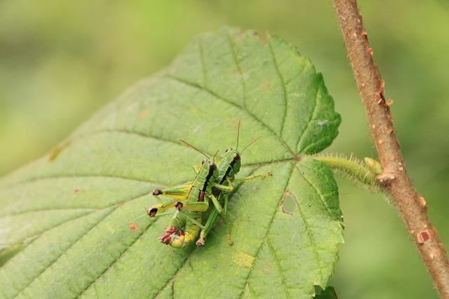 locusts-87818_640